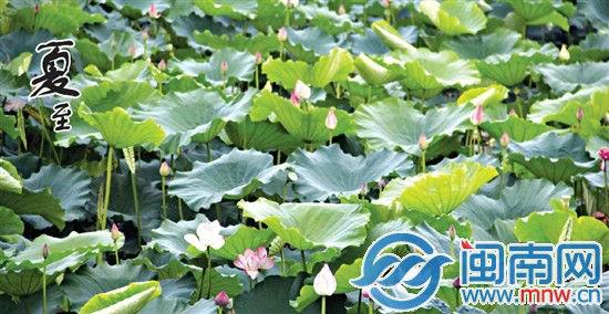 漳州西环城路,片林公园荷花含苞待放